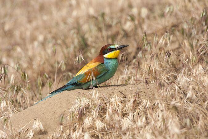 常见的食蜂鸟 羽毛鲜艳 栖息在岩石上