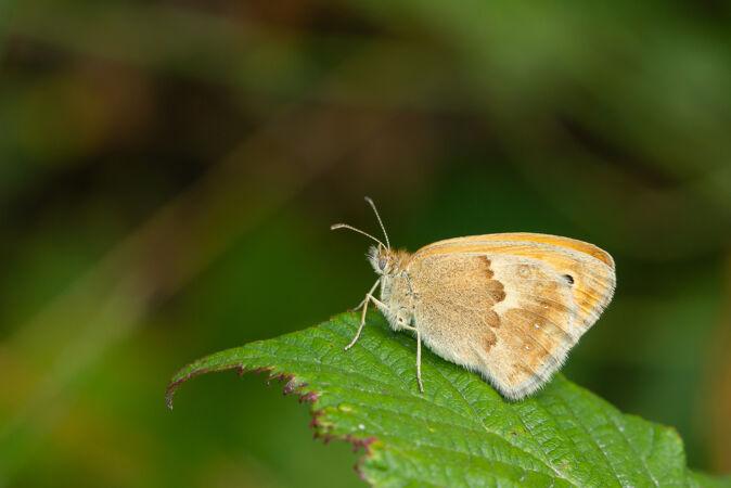 一只小石南蝴蝶在树叶上的壮丽镜头